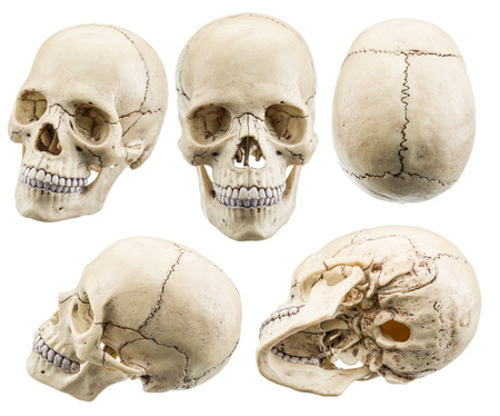 modelo de cráneo aislado en un fondo blanco. El fichero contiene trazados de recorte.