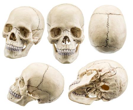 calavera: modelo de cráneo aislado en un fondo blanco. El fichero contiene trazados de recorte.