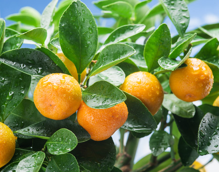 Ripe tangerine fruits on the tree. Blue sky background. Stock Photo