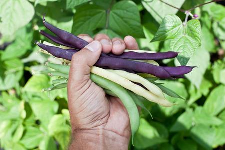ejotes: judías verdes frescas en la mano del hombre. Las plantas verdes en el fondo.