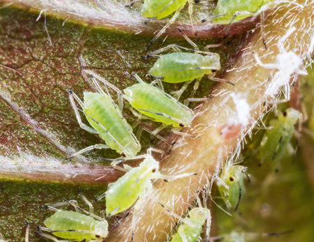aphid: Aphid on the flower sprouts. Macro shot. Stock Photo