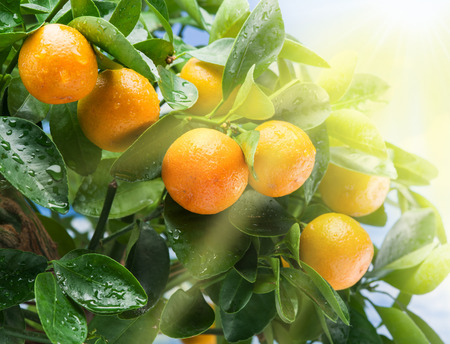 crone: Ripe tangerine fruits on the tree in the sunlight. Blue sky background.
