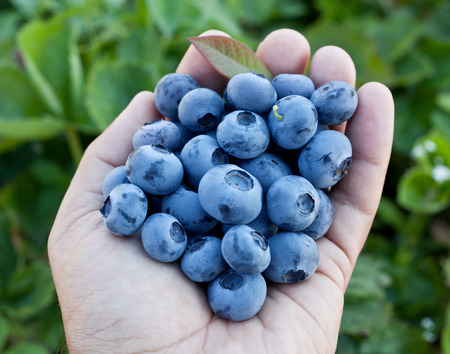 mans: Blueberries in the mans hands. Green shrubs on the background.