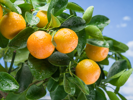 crone: Ripe tangerine fruits on the tree. Blue sky background. Stock Photo