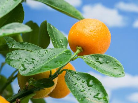 crone: Ripe tangerine fruits on the tree. Blue sky background. Stock Photo