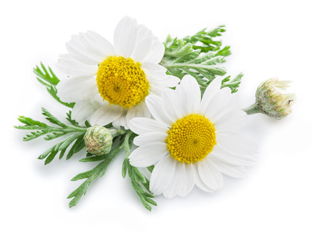 Rumianku lub rumianku kwiaty samodzielnie na białym tle. Zdjęcie Seryjne