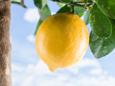 crone: Ripe lemon fruit on the tree. Blue sky background.