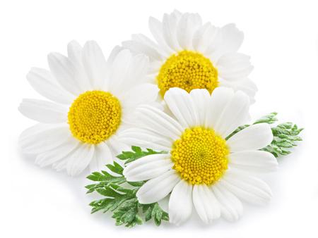 Rumianku lub rumianku kwiaty samodzielnie na białym tle.