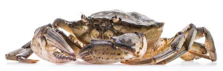 exoskeleton: Carcinus maenas -edible alive crab isolated on a white background. Stock Photo