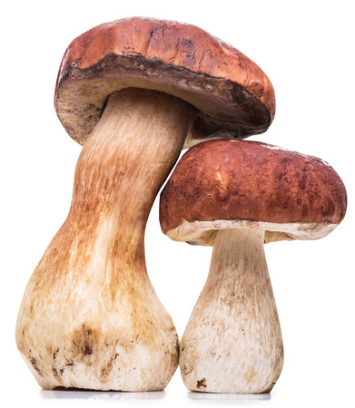 porcini: Porcini mushrooms. File contains clipping paths.