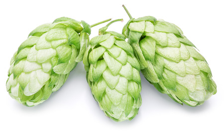 hop plant: Hop cones. Isolated on white background.