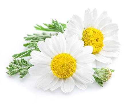 Camomilla o fiori di camomilla isolato su sfondo bianco.