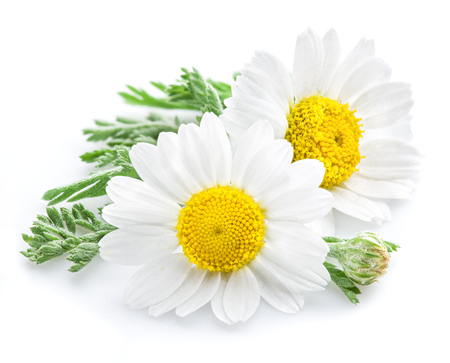 isolated on white: Chamomile or camomile flowers isolated on white background.