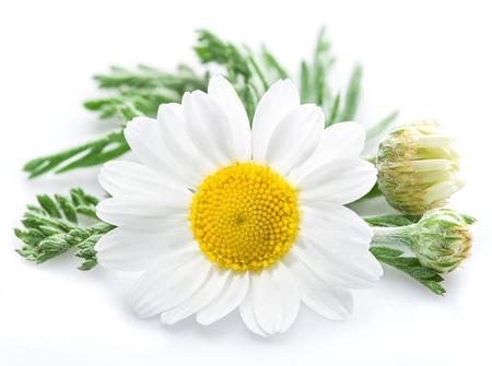 Kamille oder Kamille Blumen auf weißem Hintergrund.