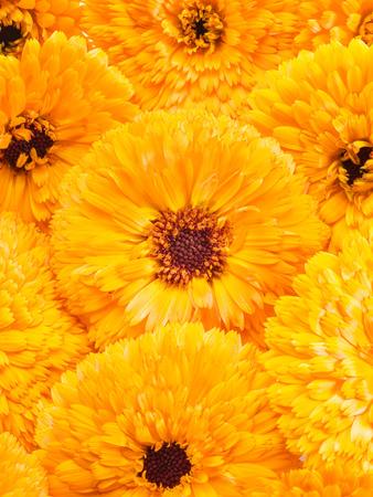 herbaceous: Orange calendula or marigold flower heads. Flower background.