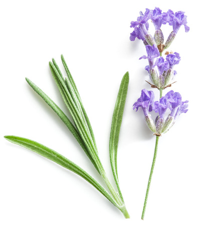 isolated flower: Bunch of lavandula or lavender flowers isolated on white background.