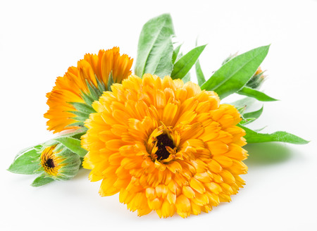 herbaceous: Calendula flowers isolated on white background.