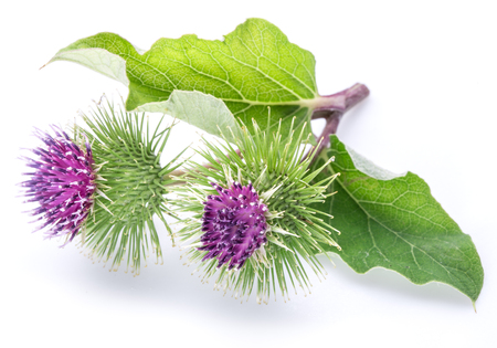 invasive plant: Prickly heads of burdock flowers on a white background.