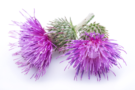 Milk thistle (Silybum) flowers isolated on the white background. Stock Photo