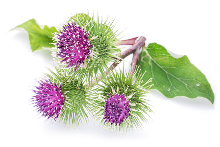 burdock: Prickly heads of burdock flowers on a white background.