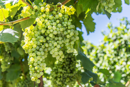 white grape: Wine grapes on the vine. Sunny vineyard on the background. Stock Photo