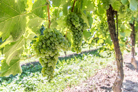 vinery: Wine grapes on the vine. Sunny vineyard on the background. Stock Photo