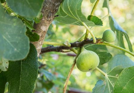 albero da frutto: frutta fico maturo sull'albero.