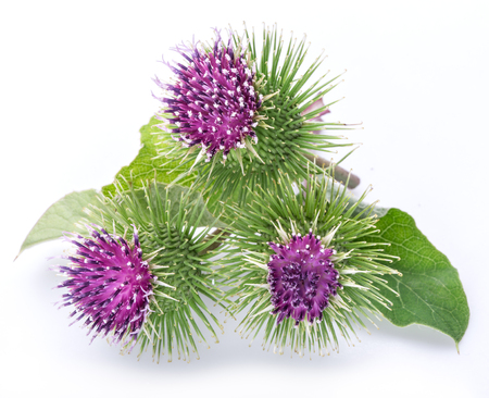 prickly flowers: Prickly heads of burdock flowers on a white background.