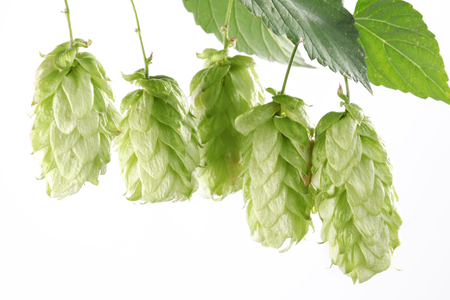 branch of hops on a white background Stock Photo