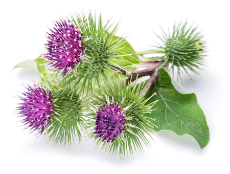 bud weed: Prickly heads of burdock flowers on a white background.