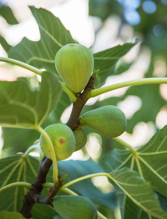 Ripe fig fruits sur l'arbre.