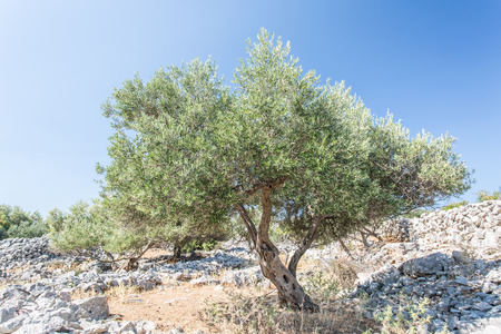 In de olijfbomen tuin.