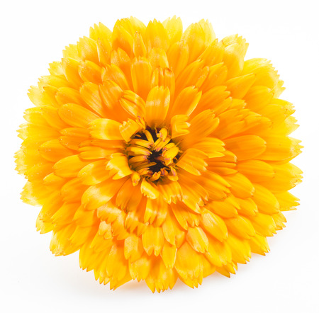 fleurs des champs: fleurs de Calendula isolé sur fond blanc. Banque d'images