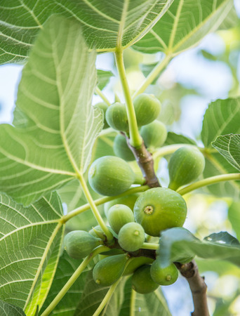 fig tree: Ripe fig fruits on the tree.