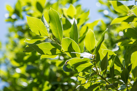 Laurel shrub or bay tree. Blue sky on the background. Stock Photo