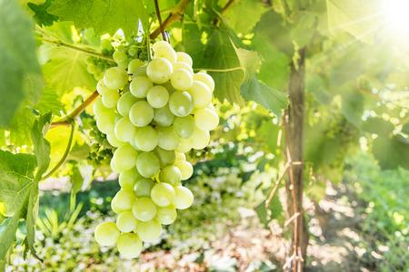 Wine grapes on the vine. Sunny vineyard on the background. Standard-Bild