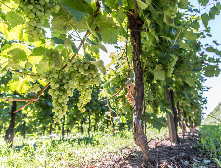 grape vines: Wine grapes on the vine. Sunny vineyard on the background. Stock Photo