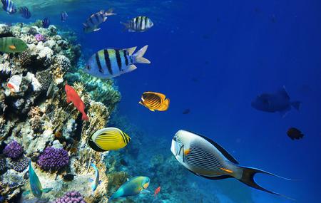 Colorful poissons des récifs coralliens de la mer Rouge.