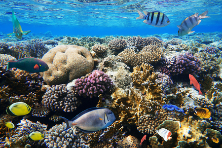 hardcoral: Colorful coral reef fishes of the red sea.