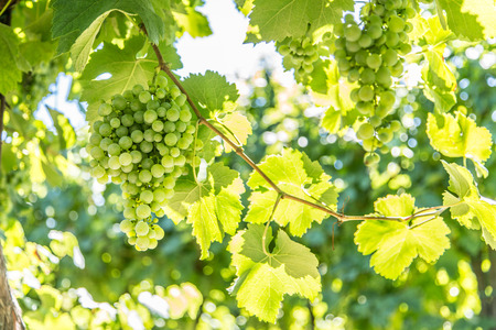 Wine grapes on the vine. Sunny vineyard on the background. Stock Photo