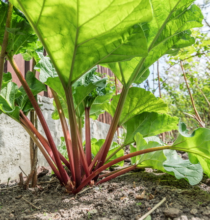 Rhubarb plant in the garden. Close up.