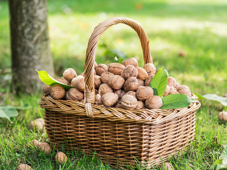 Walnuts in the basket on the green grass.