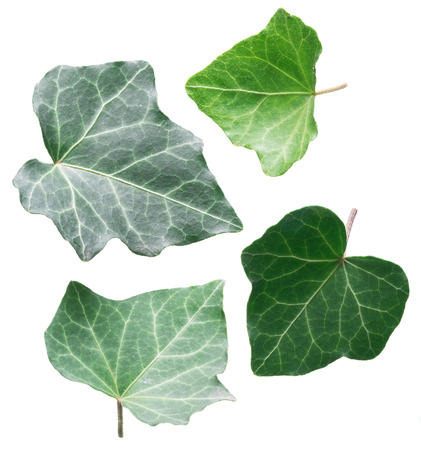 Green ivy leaves on the white background.
