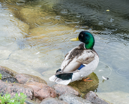 Male duck cleans feathers in the rain. Stock Photo
