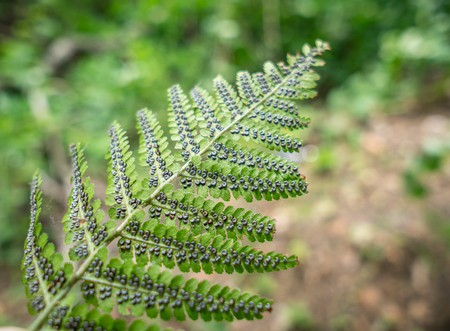 Fern plant in sporophyte phase. Nature background.