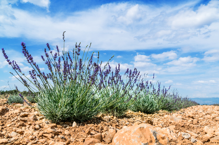 Field of young lavender flowering plants. Blue sky at the background. Standard-Bild