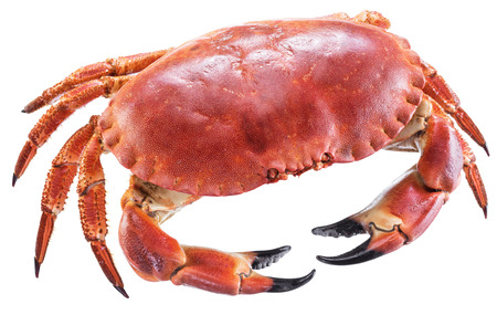 Gekookte bruine krab of eetbare die krab op de witte achtergrond wordt geïsoleerd.