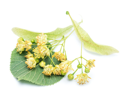 Lime flowers and leaves on white background.