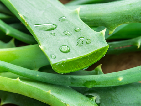 Aloe or Aloe vera fresh leaves and slices