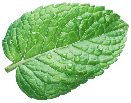 Spearmint leaf or mint leaf with water drops on white background. Stock Photo